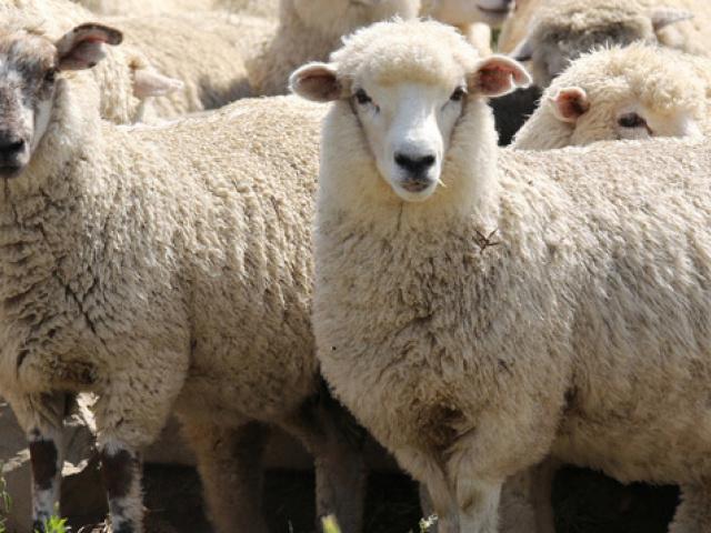 Brumisateur pour bâtiment d'élevage, bergerie et chèvrerie