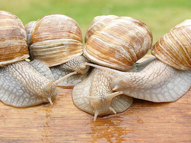 Brumisation élevage d'escargots